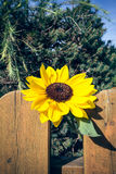 Sunflower on wooden fence Royalty Free Stock Photos