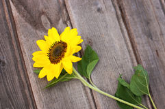 Sunflower on a wooden fence Royalty Free Stock Photo