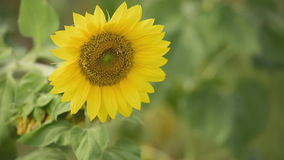 Sunflower with worker-bee. stock footage
