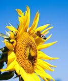 Sunflower with working bee Royalty Free Stock Photos