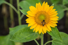 Sunflower and working bee Royalty Free Stock Photo