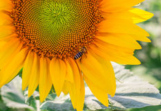 Sunflower and working bee Stock Images