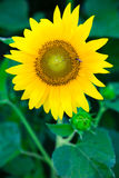 Sunflower wth bee. Closeup of a beautiful sunflower with a small bee on it Stock Photos