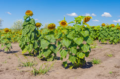 Sunflower& x27; 在夏天农业领域的s家庭 免版税库存照片