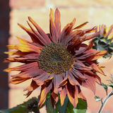 Sunflower (Helianthus) losing yellow colour Stock Images