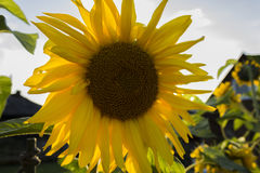 Sunflower in the yard royalty free stock images