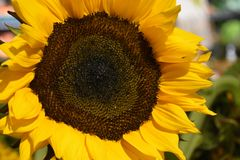 Sunflower in the Yard. At Morrisville, Pennsylvania stock image
