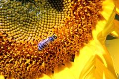 Sunflower Year bright daytime Stock Image