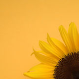 Sunflower on yellow Royalty Free Stock Photo