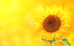 Sunflower on yellow background Stock Image