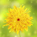 Sunflower on a yellow background Stock Photography