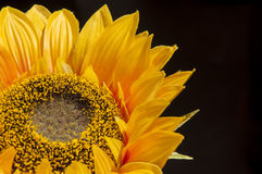 Sunflower. Yellow and black background Royalty Free Stock Image