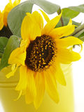 Sunflower in Yellow Bucket Royalty Free Stock Image