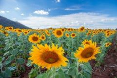 Sunflower. Yellow sunflower  on field Stock Photography