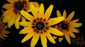 Sunflower. Yellow flower Stock Photography