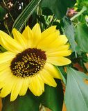 Sunflower. Yellow flower big greenery Royalty Free Stock Photo