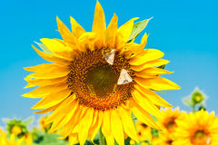 Sunflower yellow flower with butterflies close up Royalty Free Stock Images