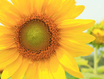 Sunflower yellow flower. Isolated on white background Stock Photos