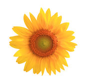 Sunflower yellow flower Stock Image
