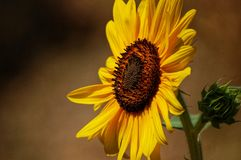 Sunflower, yellow flower with petals and a stem close-up. A close-up of a flower, a sunflower with yellow petals, a green stem and seeds Stock Photos