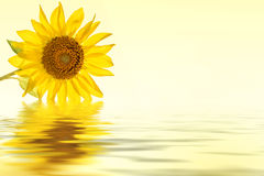 Sunflower yellow flower water reflection stock photo