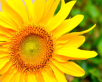 Sunflower. Stock Photography