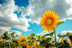 Sunflower yellow head. Field, blue sky Royalty Free Stock Images
