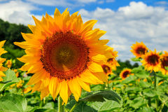 Sunflower Yellow Head On A Background Of Blue Sky Stock Photography