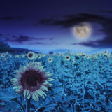 Sunflower Yellow Head On At Night Royalty Free Stock Image