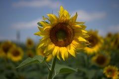 Sunflower, Yellow, Plant, Field Royalty Free Stock Photo
