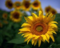 Sunflower, Yellow, Plant, Field Royalty Free Stock Image