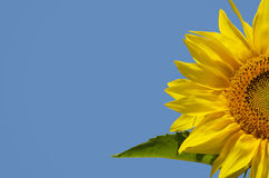 Sunflower. Yellow Sunflower in Summertime Over Blue Bbackground, Copyspace Royalty Free Stock Photography