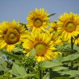 Sunflower. Yellow Sunflower in Summertime Over Natura Bbackground Stock Photography