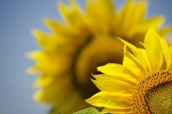 Sunflower. Yellow Sunflower in Summertime Over Natura Bbackground Stock Images