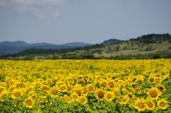 Sunflower. Yellow Sunflower in Summertime Over Natura Bbackground Stock Photos