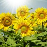 Sunflower. Yellow Sunflower in Summertime Over Natura Bbackground Royalty Free Stock Image