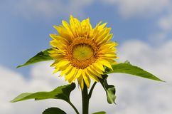 Sunflower. Yellow Sunflower in Summertime Over Natura Bbackground Royalty Free Stock Photos
