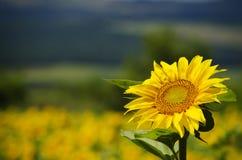 Sunflower. Yellow Sunflower in Summertime Over Natura Bbackground Stock Image