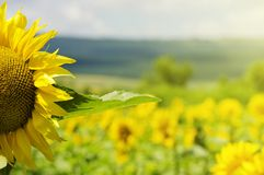 Sunflower. Yellow Sunflower in Summertime Over Natura Bbackground Royalty Free Stock Photography