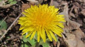 Sunflower yellow. stock photos