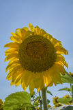 Sunflower. Yellow transparent petals are  trembling under the wind. Stock Photos