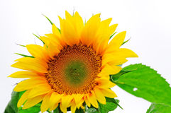 Sunflower. Yellow sunflower on a white background Royalty Free Stock Photo