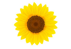Sunflower. Yellow sunflower on white blackground Royalty Free Stock Images