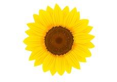Sunflower. Yellow sunflower on white blackground