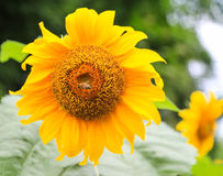 Sunflower in yongning town,sichuan,china. Sunflower  is taken in yongning town,sichuan,china Stock Photography