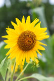 Sunflower in yongning town,sichuan,china. Sunflower  is taken in yongning town,sichuan,china Stock Images
