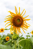 Sunflower in yongning town,sichuan,china. Sunflower  is taken in yongning town,sichuan,china Royalty Free Stock Images