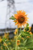 Sunflower in yongning town,sichuan,china. Sunflower  is taken in yongning town,sichuan,china Royalty Free Stock Image