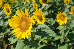 Sunflowerfield Stock Afbeelding