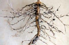 Sunflowers& x27; Дерево корней стоковые изображения rf
